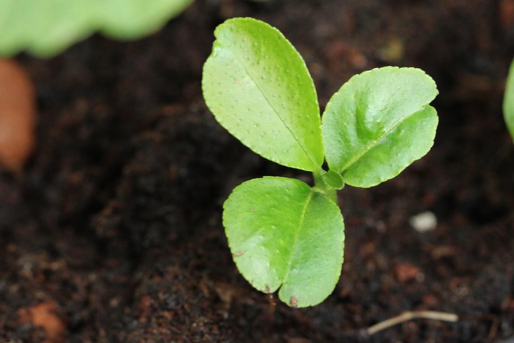 Lemon or lime seedling