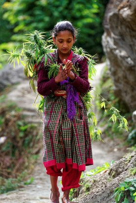 """Malana village girl carries cannabis plant and making """"mal…   Flickr"""