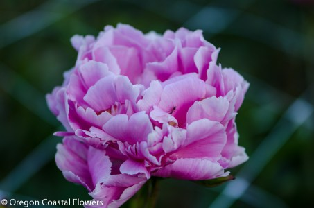 lavender peony-1-2