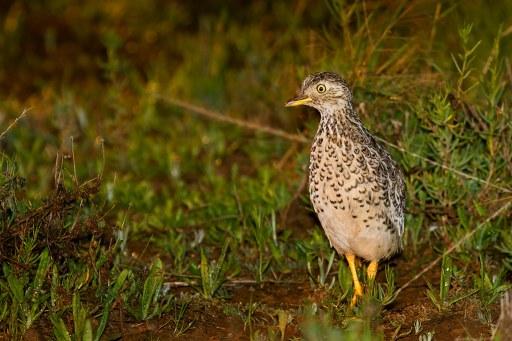 Plains Wanderer (Pedionomus torquatus) male