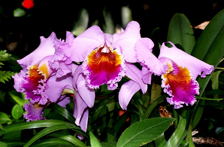 orchidembed