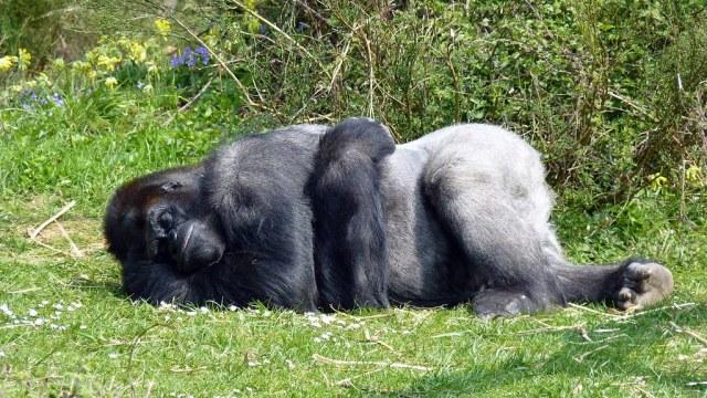 how do gorillas sleep