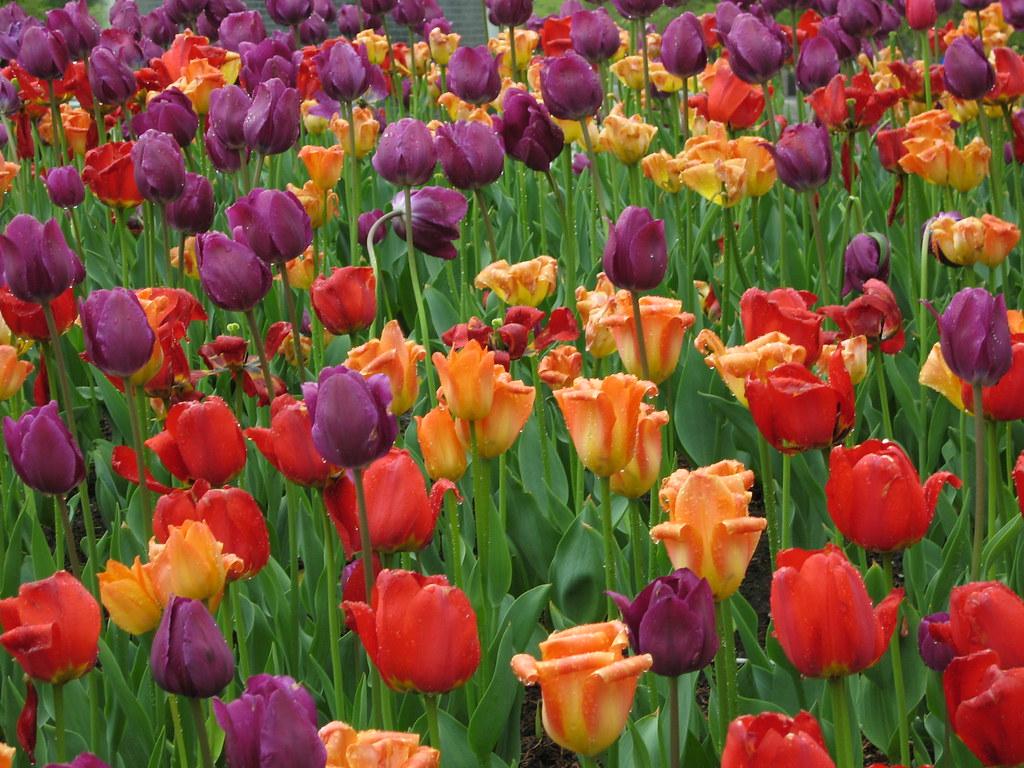 Millenium Park tulips
