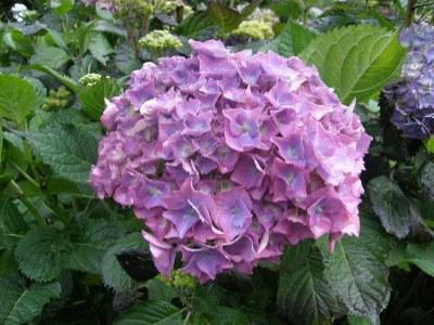 dusty rose pink lavender hydrangea