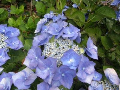 Vivid blue lacecap hydrangeas