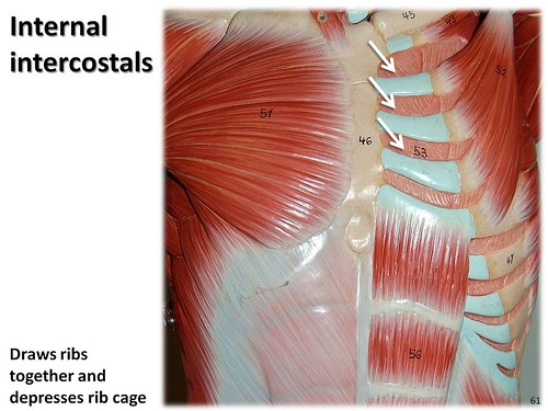 Internal intercostals - Muscles of the Upper Extremity Vis ...