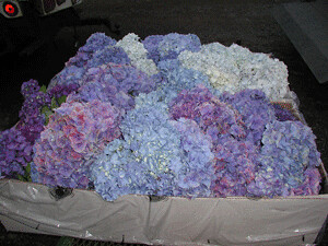 How hydrangea flowers are packed