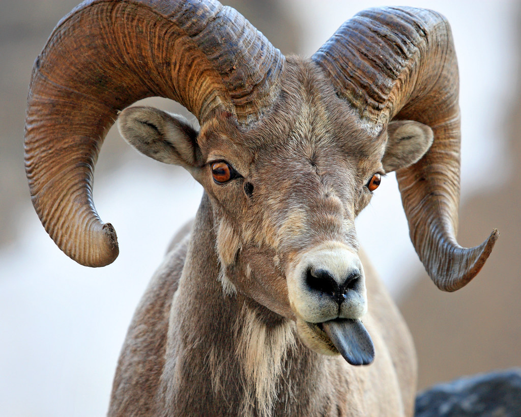 Disrespect From A Bighorn Sheep