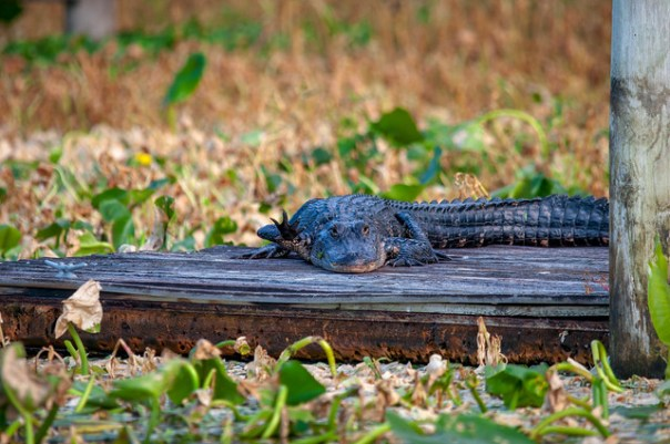 Gators always smile at you, but this one was even waving!