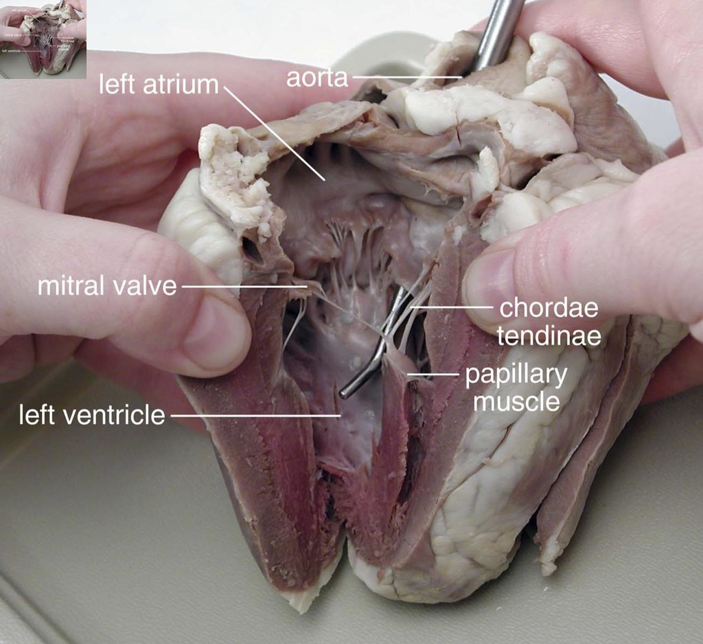 Dissection Of Sheep S Heart 1