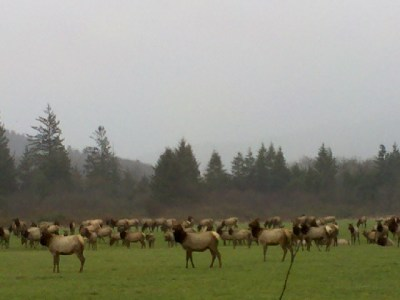 Elk on the Oregon Coast