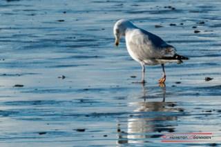 Seagull (Larus argentatus)