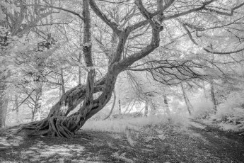 The Yew embrace.