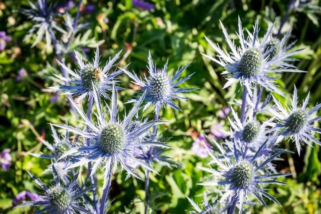 vibrant blue thistle