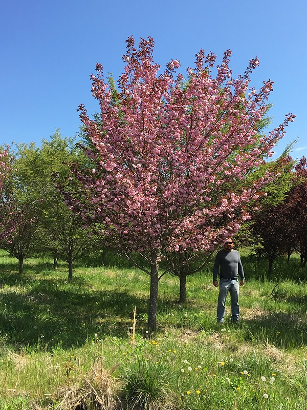Prunus Royal Burgundy 3-3.5