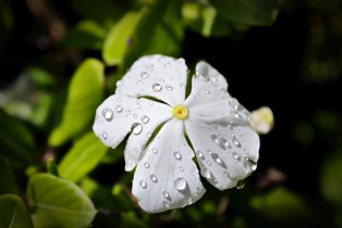 """Raindrops on White Phlox"""