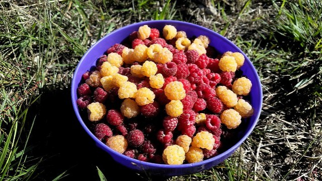 Kurt did an incredible job of colleting berries in the morning by bryandkeith on flickr