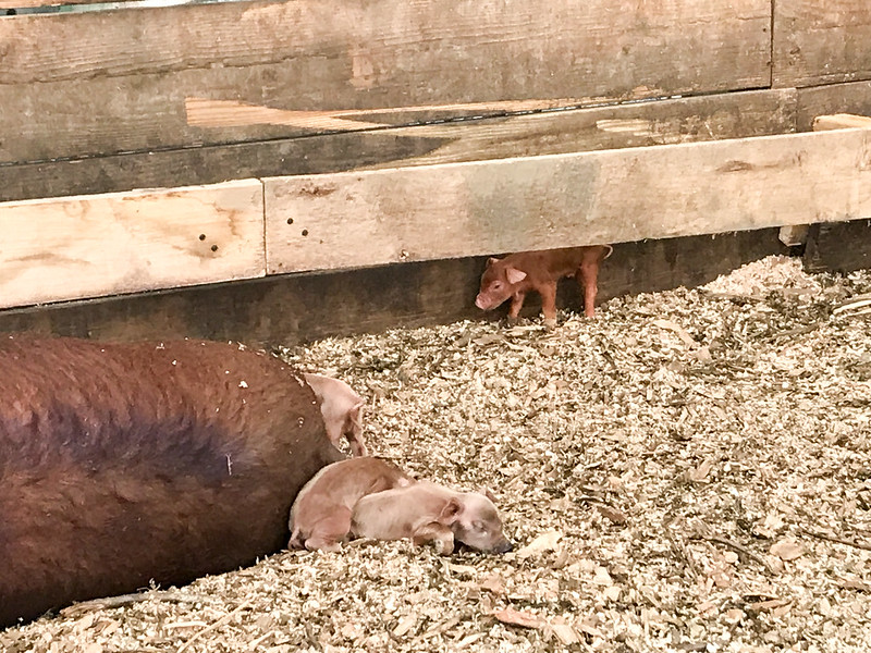 Pig and piglets at Blue Hill Farm at Stone Barns Center