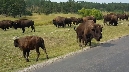 Buffalo crossing at Custer State Park