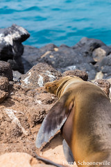 Sealion chilling