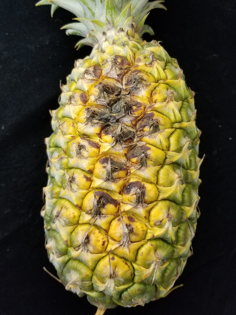 Pineapple Ananas Comosus Sun Scald Of Fruit The