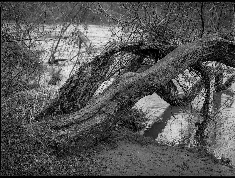 fallen tree, split trunk, French Broad River, Asheville, NC, Mamiya 645 Pro, mamiya sekor 80mm f-2.8, ilford fp4+, Moersch Eco Film Developer, early February 2018