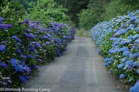 Purple & Blue Hydrangea on the farm
