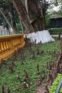 Buddha roots - the roots from the tree at Ho Chi Minh's presidential Garden's Hanoi