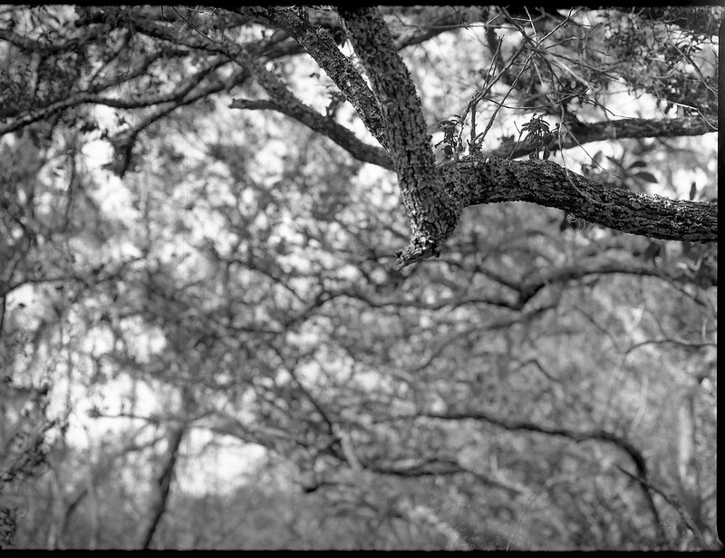 looking up, branches, florida oak trees, backlit, Atlantic Center for the Arts, New Smyrna Beach, FL, Mamiya 645 Pro, mamiya sekor 80mm f-2.8, Arista.Edu 200, Moersch Eco Film Developer, late January 2018