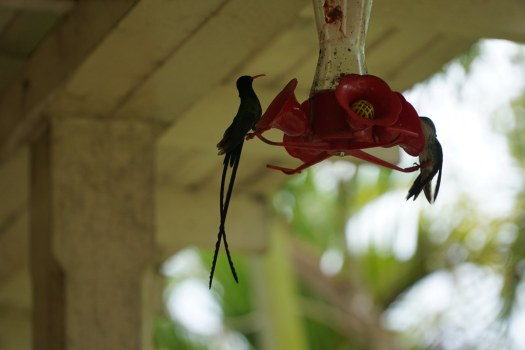 Humming bird (Colibrì)