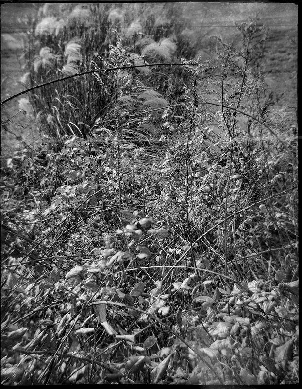 knarly and bowing twigs in front, whispy willows in the wind, behind, Black Mountain, NC, Ferrania Tanit, Rera Pan 400, Ilford Ilfosol 3 developer, 11.20.18