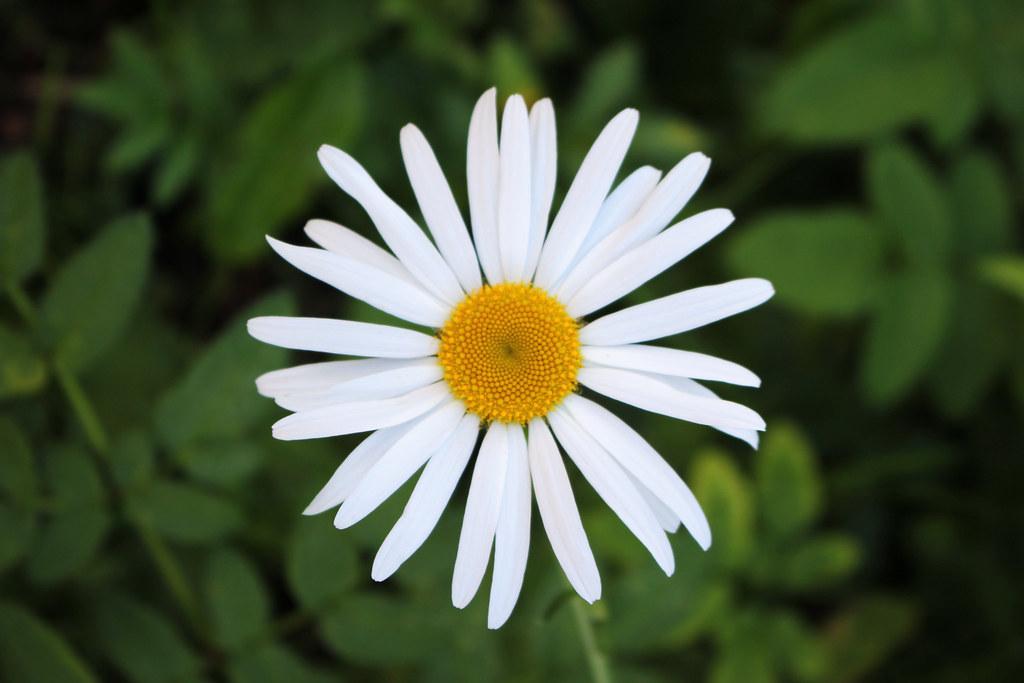 Late Daisy | ekaterina alexander | Flickr