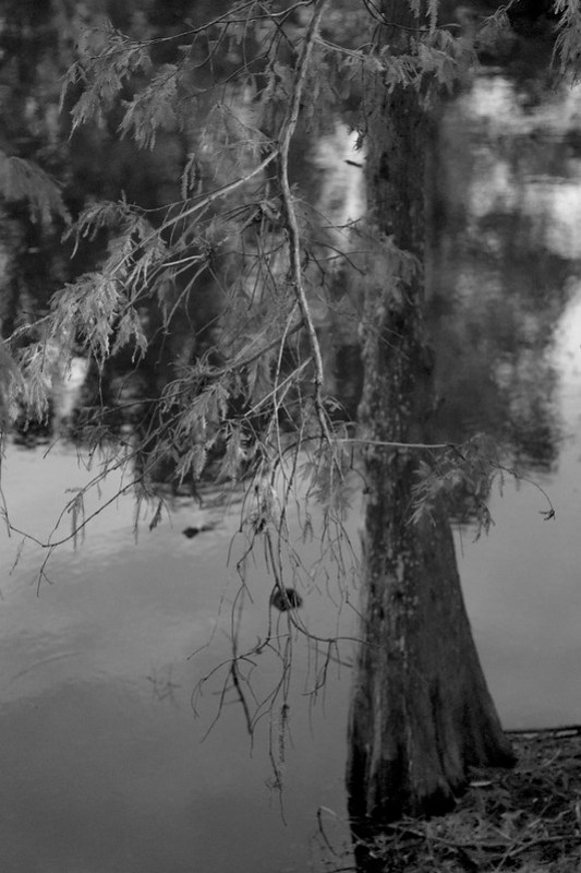 looking down, Florida cypress tree, new growth, reflections,  Jacksonville, Florida, Nikon D3300, mamiya sekor 80mm f-2.8, 11.28.18