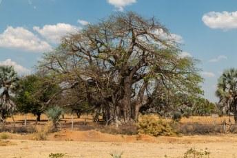 De laatste etappe tot aan de grens, met aan weerskanten van de weg baobab bomen en.....
