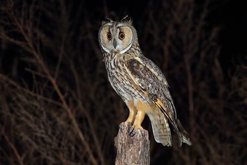 長耳鴞 Long-eared owl   3600x2400 c1.staticflickr.com/5/4915/32…   Flickr