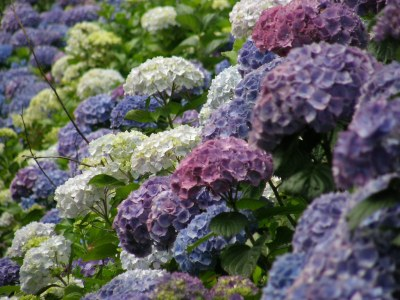 blue, white, purple hydrangeas