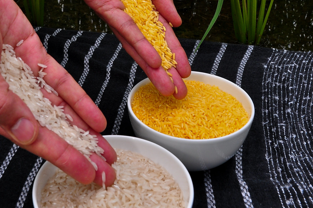 Golden Rice grain compared to white rice (8)-24
