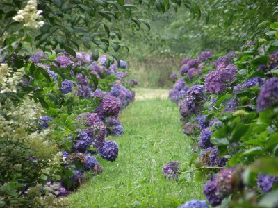 purple hydrageas