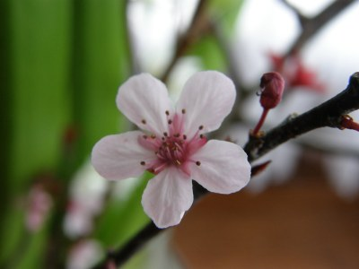 prunus flowering branches