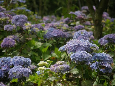 changing color of hydrangeas