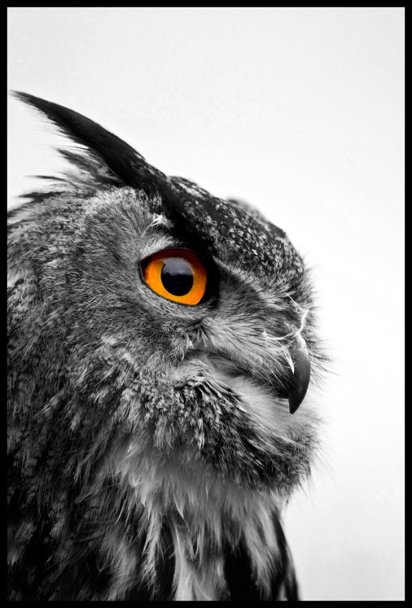 European Eagle Owl - Black and White | Shot of a European ...