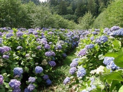 oregon coast hydrangea farm