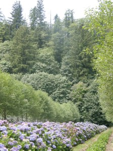 hydrangea farm on the Oregon Coast