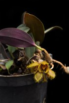 Bulbophyllum dayanum  [14/4/2014]-[3]