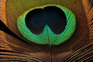 peacockfeatherISO400F16