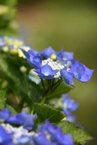 blue lacecap hydrangea