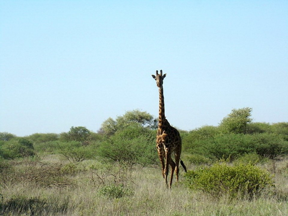 Jirafa Parque Nacional Amboseli Kenia Africa 12