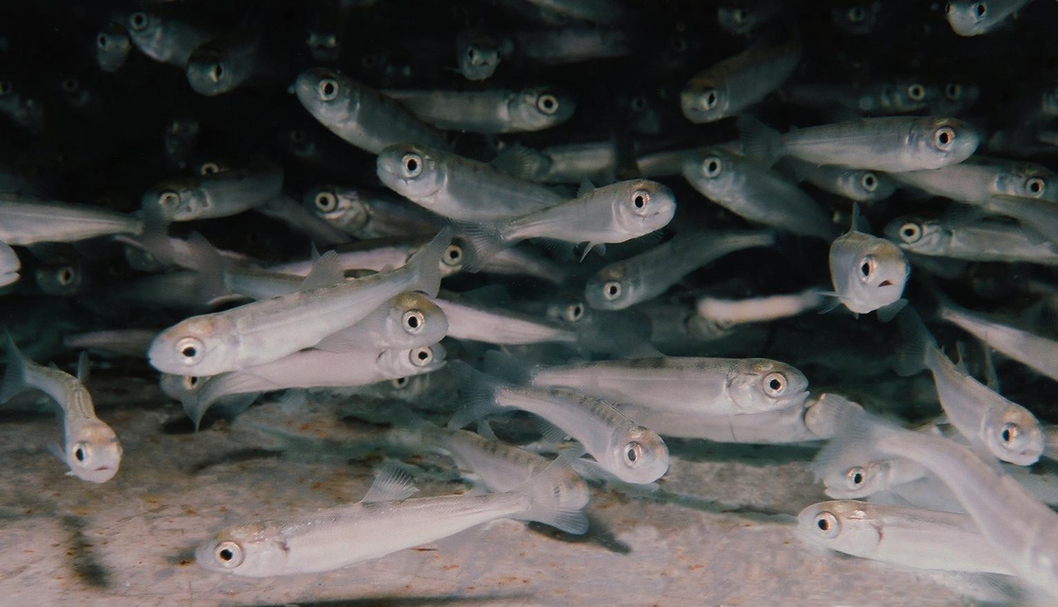 Lake Sammamish Kokanee Fry Release Event