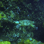 Reeffish vol1.01 (61)