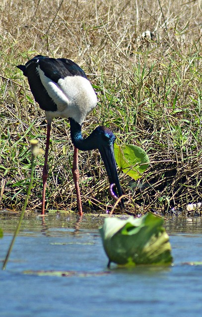 Black Necked Stork eating a snake